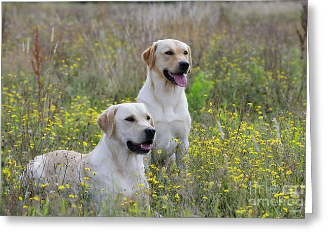 Happy Labradors Greeting Cards - Labrador Retriever Dogs Greeting Card by John Daniels