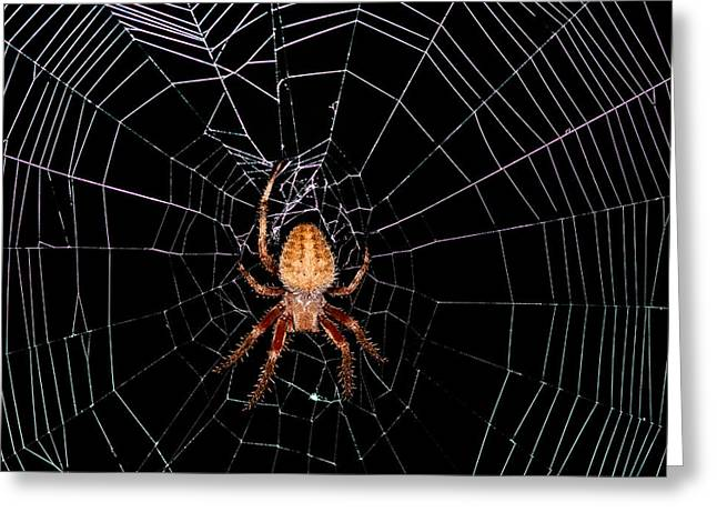 Creepy Crawly Greeting Cards - 7 Legged Spotted Orb Weaver Greeting Card by Lara Ellis