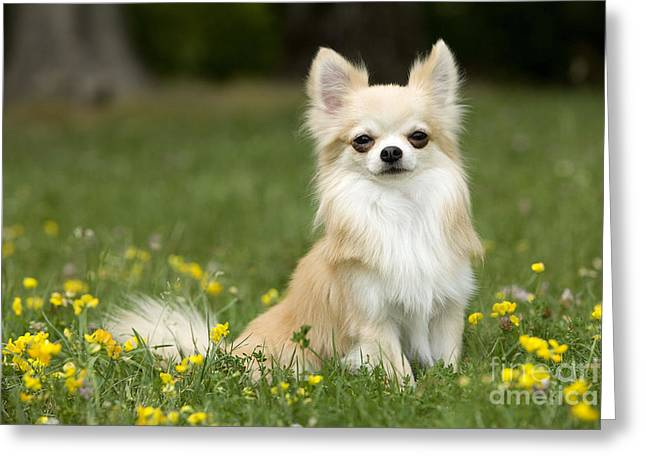 Toy Dog Greeting Cards - Long-haired Chihuahua Greeting Card by Jean-Michel Labat