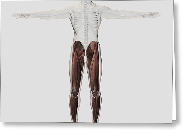 Human Arm Greeting Cards - Male Muscle Anatomy Of The Human Legs Greeting Card by Stocktrek Images