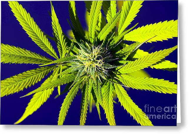 Ganja Greeting Cards - Medical Marijuana Greeting Card by Kevin Miller