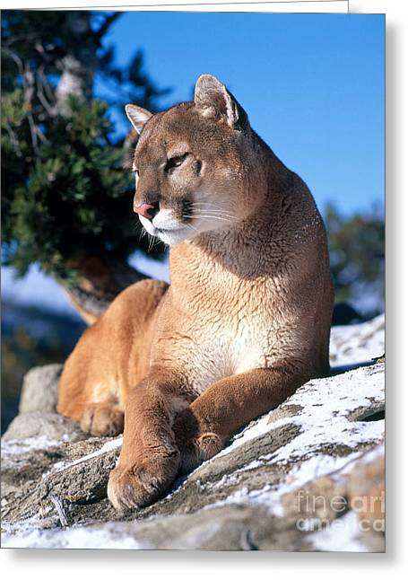Puma Concolor Greeting Cards - Mountain Lion Greeting Card by Hans Reinhard