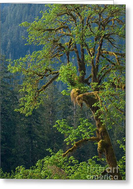 Moss-covered Greeting Cards - Olympic National Park Greeting Card by John Shaw