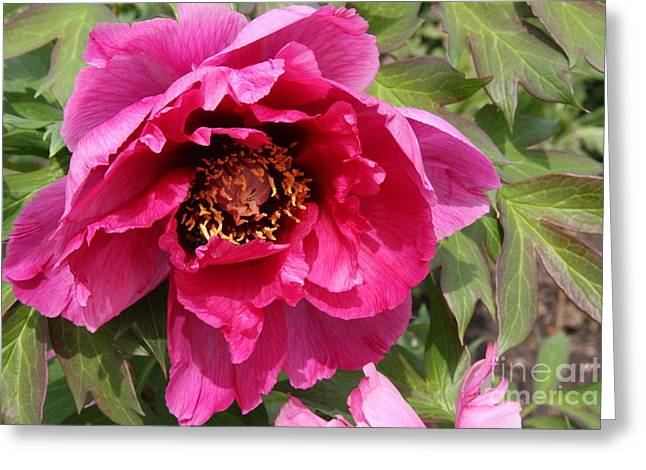 Christiane Schulze Greeting Cards - Pink Peony Greeting Card by Christiane Schulze Art And Photography