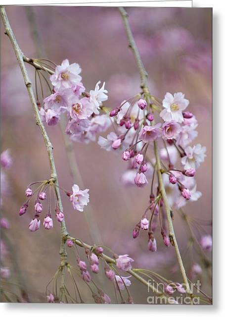 Weeping Greeting Cards - Prunus Subhirtella Pendula Greeting Card by Maria Mosolova