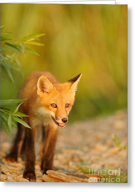 Red Fox Greeting Card by Scott Linstead
