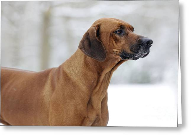Rhodesian Ridgeback Dog Greeting Card by John Daniels