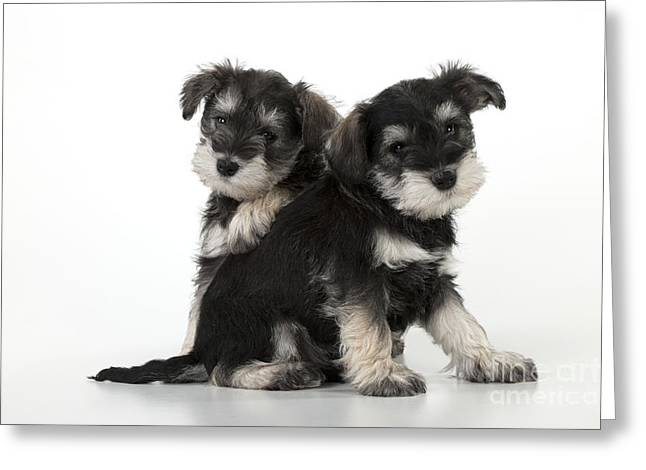 Mini Schnauzer Puppy Greeting Cards - Schnauzer Puppy Dogs Greeting Card by John Daniels