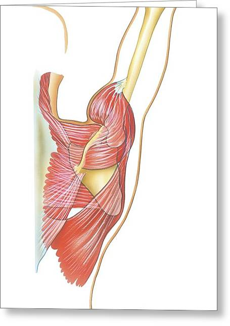 Retraction Greeting Cards - Shoulder Joint Movement, Artwork Greeting Card by Bo Veisland