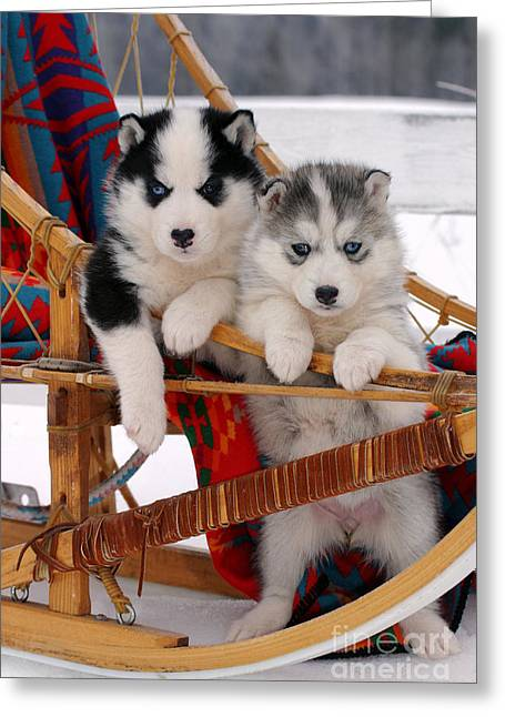 Husky Puppy Greeting Cards - Siberian Husky Puppies Greeting Card by Rolf Kopfle