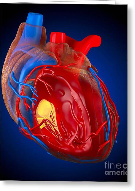 Structure Of A Human Heart, Artwork Greeting Card by Roger Harris