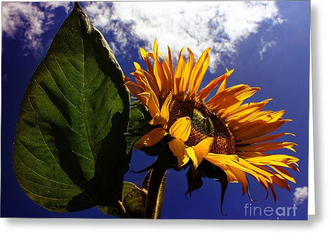 Indian Summer Greeting Cards - Sunflower in sunshine Greeting Card by Indian Summer