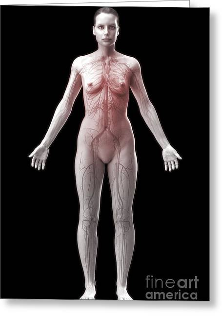 Cava Greeting Cards - The Cardiovascular System Female Greeting Card by Science Picture Co