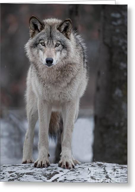Timber Wolf  Greeting Card by Wolves Only