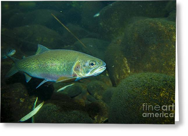 Cutthroat Greeting Cards - Westslope Cutthroat Trout Greeting Card by William H. Mullins