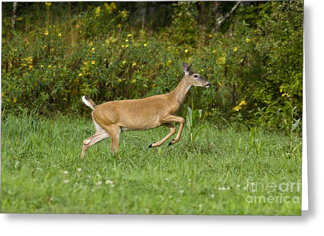 North Woods Greeting Cards - White-tailed Doe Greeting Card by Linda Freshwaters Arndt