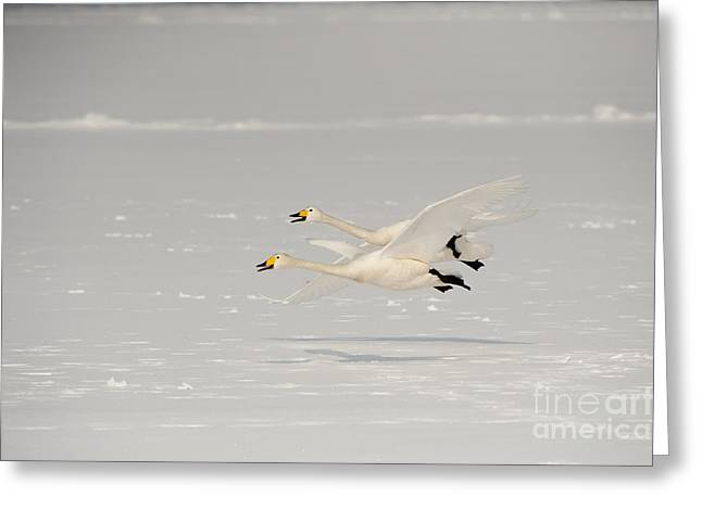 Cygnus Greeting Cards - Whooper Swans Greeting Card by John Shaw