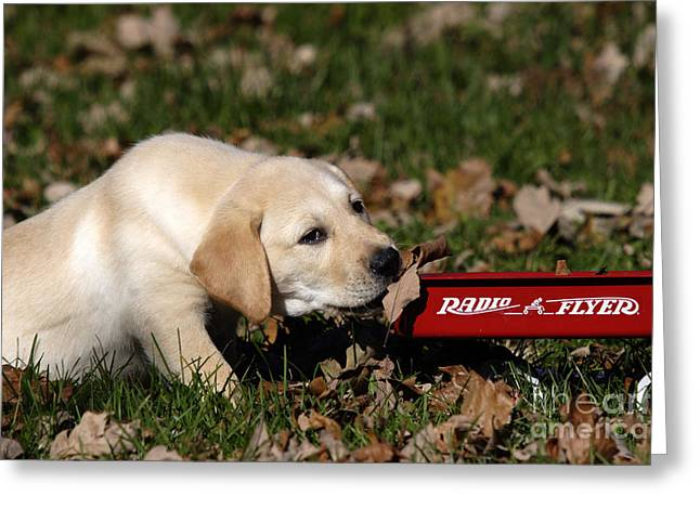Radio Flyer Wagon Greeting Cards - Yellow Labrador Puppy Greeting Card by Linda Freshwaters Arndt