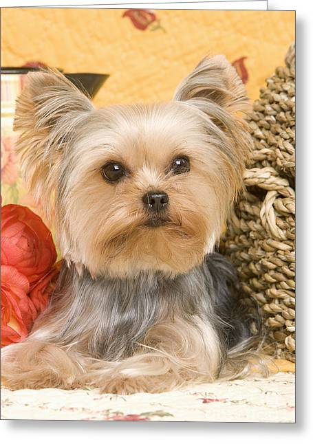 Toy Dog Greeting Cards - Yorkshire Terrier Dog Greeting Card by Jean-Michel Labat