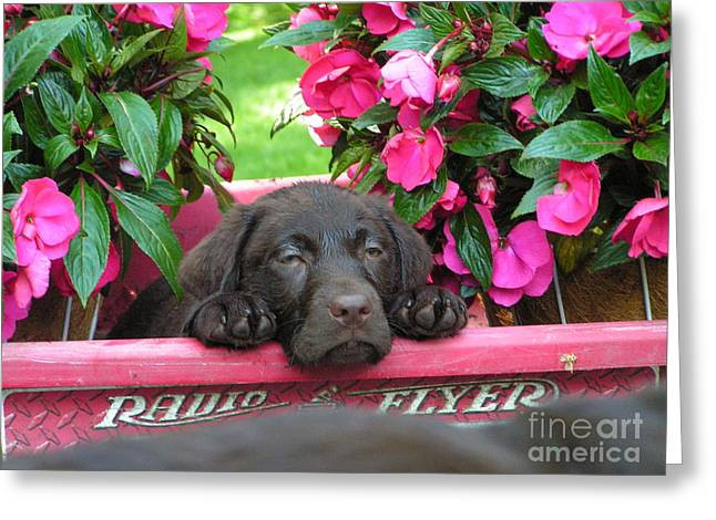 Puppies Photographs Greeting Cards - #740  D13 Chocolate Lab Radio Flyer Wagon Greeting Card by Robin Lee Mccarthy Photography