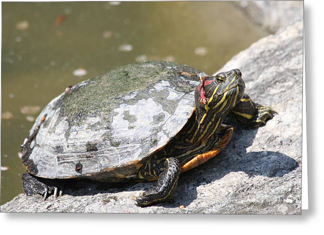 Green And Yellow Greeting Cards - 75 Year Old Turtle Moving On Greeting Card by John Telfer