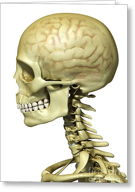 Temporal Bone Greeting Cards - Human Brain Greeting Card by Science Picture Co
