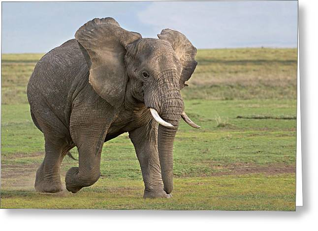 Craters Greeting Cards - African Elephant Loxodonta Africana Greeting Card by Panoramic Images