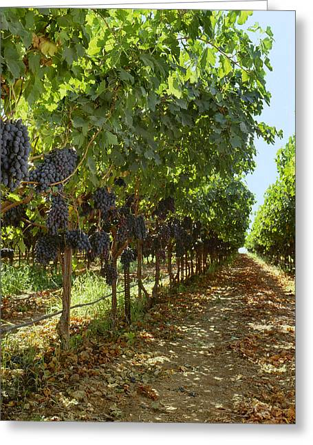 Grape Vineyard Greeting Cards - Agriculture - Mature, Harvest Ready Greeting Card by Ed Young