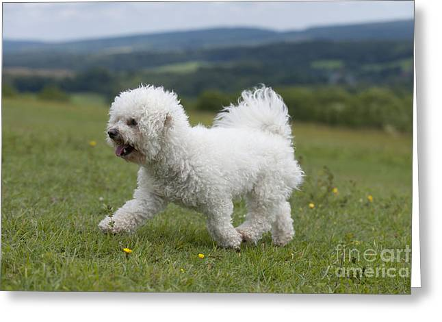 Dog Trots Photographs Greeting Cards - Bichon Frise Greeting Card by John Daniels