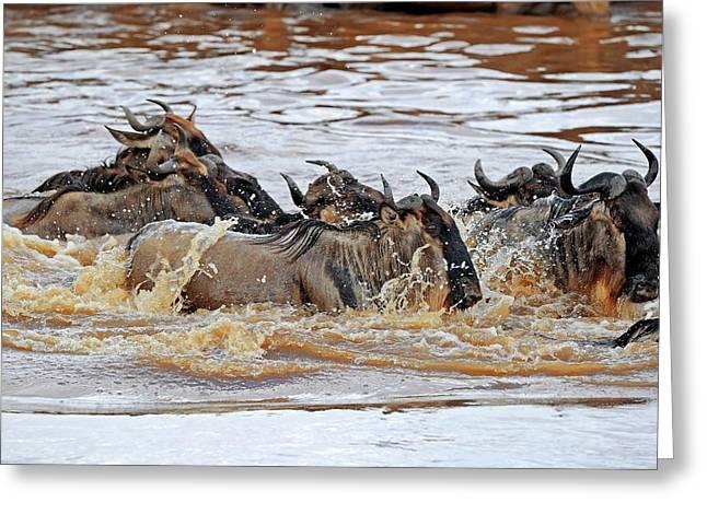 Blue Wildebeest Migration Greeting Card by Bildagentur-online/mcphoto-schulz