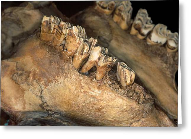 Theria Greeting Cards - Cattle jawbone Greeting Card by Science Photo Library