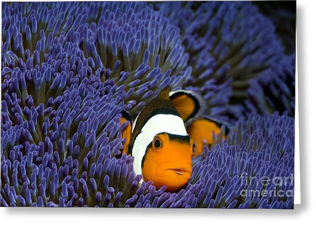 Clown Fish Photographs Greeting Cards - Clown Anemonefish Greeting Card by Georgette Douwma