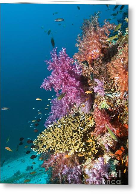 Brightly Colored Fish Greeting Cards - Coral Reef, Thailand Greeting Card by Georgette Douwma