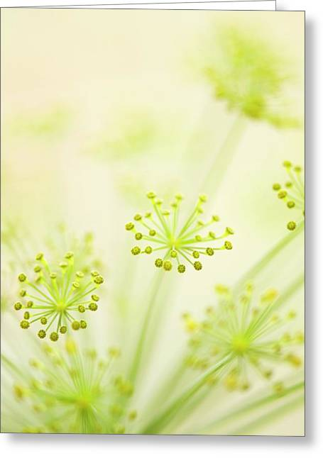 Dill (anethum Graveolens) Greeting Card by Maria Mosolova