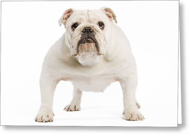 Canid Greeting Cards - English Bulldog Greeting Card by Jean-Michel Labat