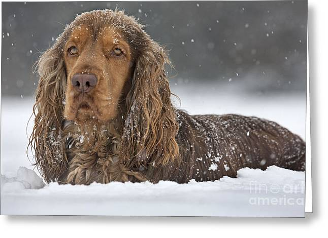 Dog In Snow Greeting Cards - English Cocker Spaniel Greeting Card by Johan De Meester