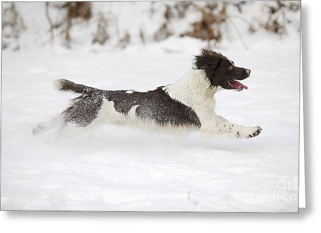 Dogs In Snow. Greeting Cards - English Springer Spaniel Greeting Card by John Daniels