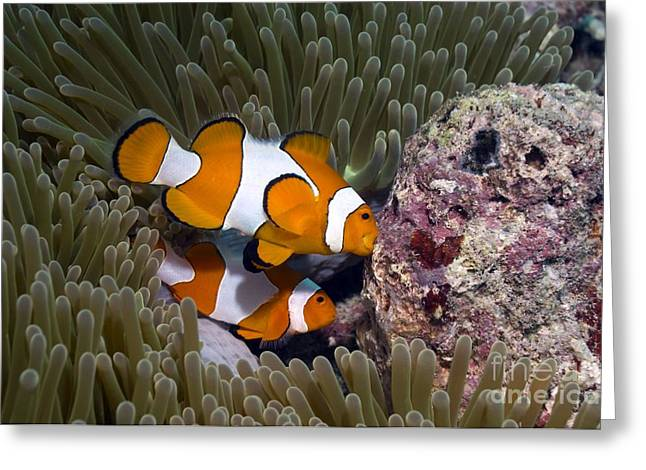 Coral Spawning Greeting Cards - False Clown Anemonefish Greeting Card by Georgette Douwma