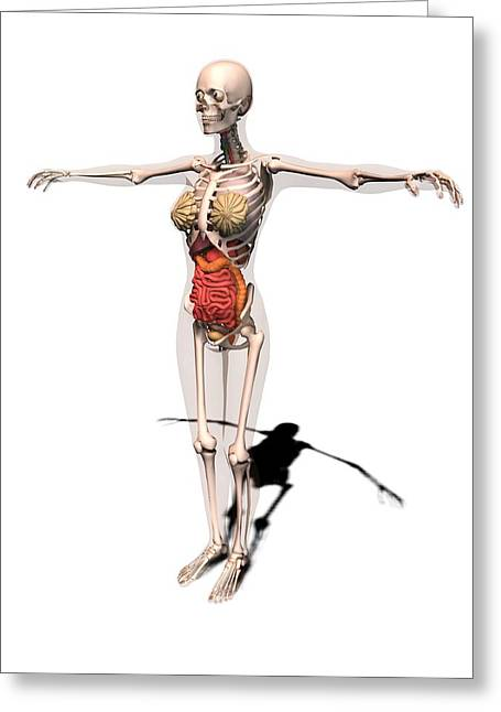 Arms Out Greeting Cards - Female anatomy, artwork Greeting Card by Science Photo Library