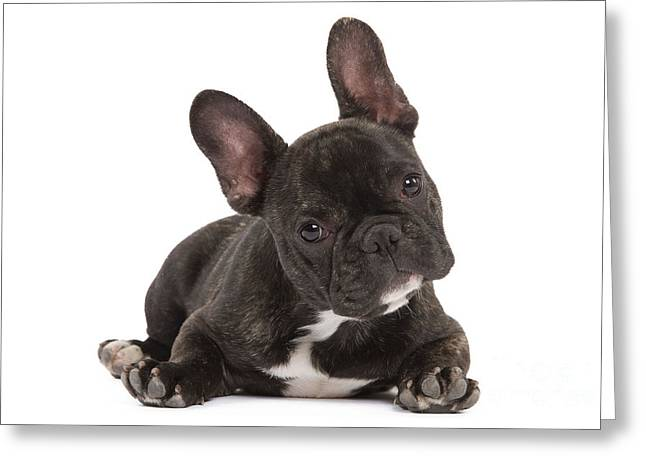 Head Tilt Greeting Cards - French Bulldog Greeting Card by Jean-Michel Labat