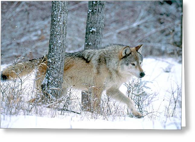Wolves Photographs Greeting Cards - Gray Wolf Greeting Card by Art Wolfe