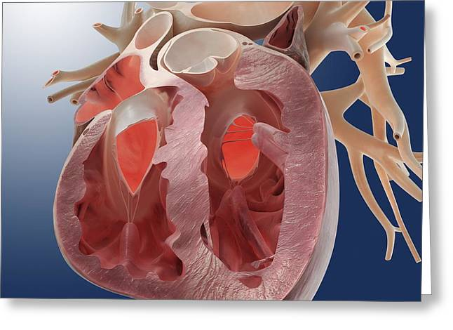 Pulmonary Vein Greeting Cards - Heart, artwork Greeting Card by Science Photo Library