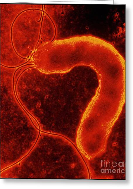 Gastric Ulcer Greeting Cards - Helicobacter Pylori Bacterium Greeting Card by Nibsc