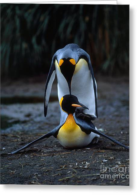 Aquatic Greeting Cards - King Penguin Greeting Card by Hans Reinhard