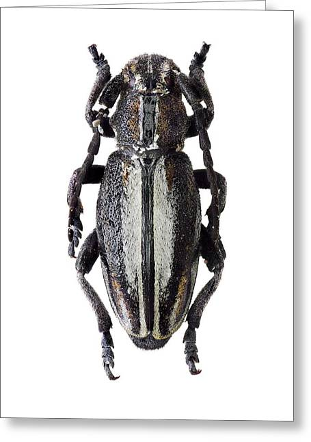 Longhorn Beetle Greeting Card by F. Martinez Clavel