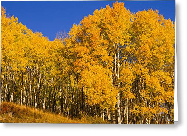 Clear Fall Day Greeting Cards - Low Angle View Of Aspen Trees Greeting Card by Panoramic Images