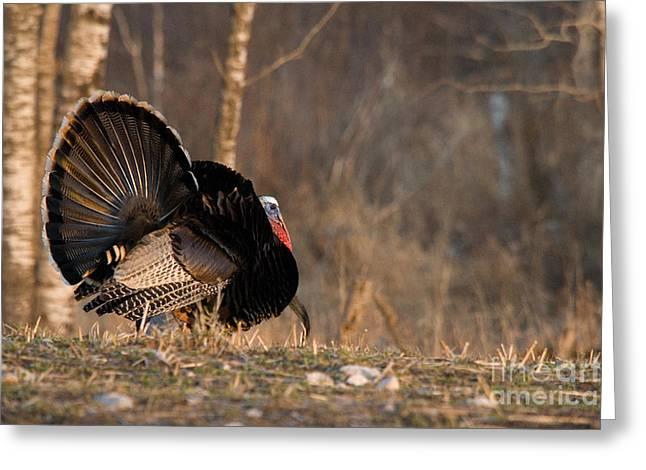 Male Eastern Wild Turkey Greeting Card by Linda Freshwaters Arndt