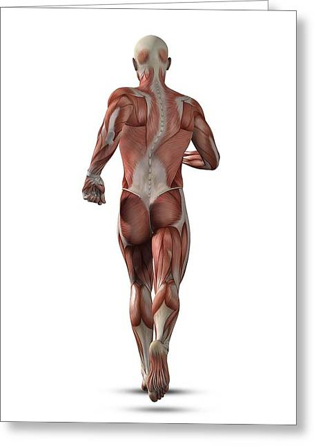 Conscious Greeting Cards - Male muscle structure, artwork Greeting Card by Science Photo Library