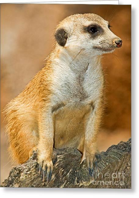 Wildlife In Captivity Greeting Cards - Meerkat Greeting Card by Millard H. Sharp