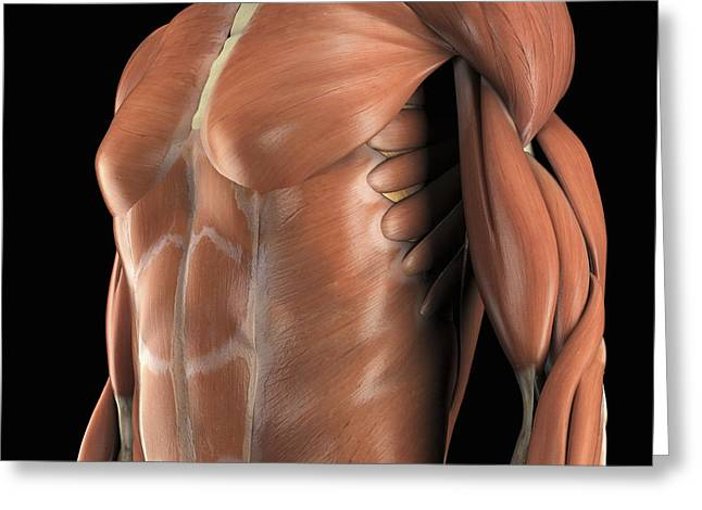 Abdominal Greeting Cards - Muscles Of The Upper Body Greeting Card by Science Picture Co